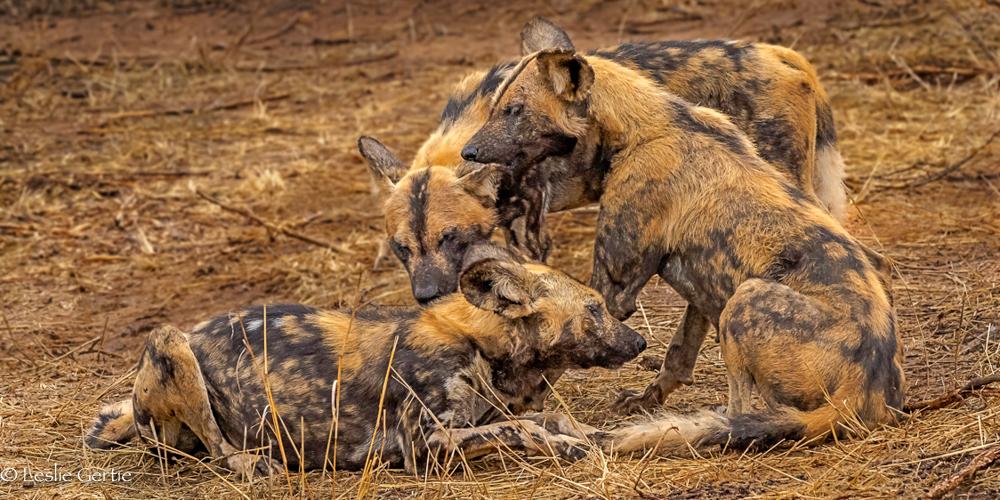 Wild Dogs-3686