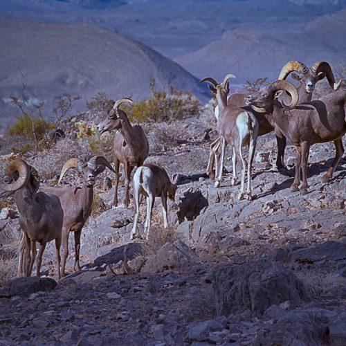 Bighorn Herd 185-16