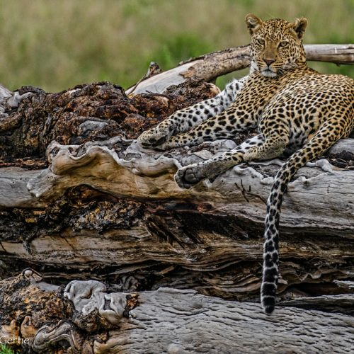 Leopard on His Throne-4342