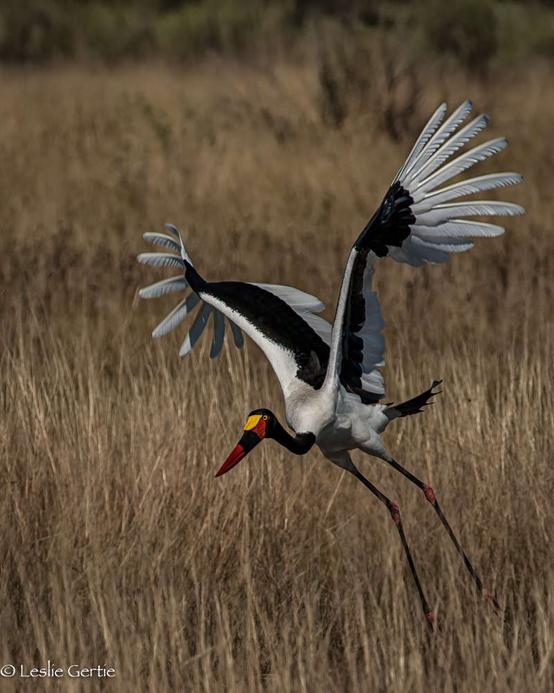 Saddlebilled Stork-8450